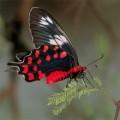 Почему у бабочек красивые крылья?