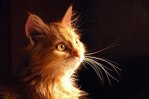 WExplain.ru - Зачем кошке усы?