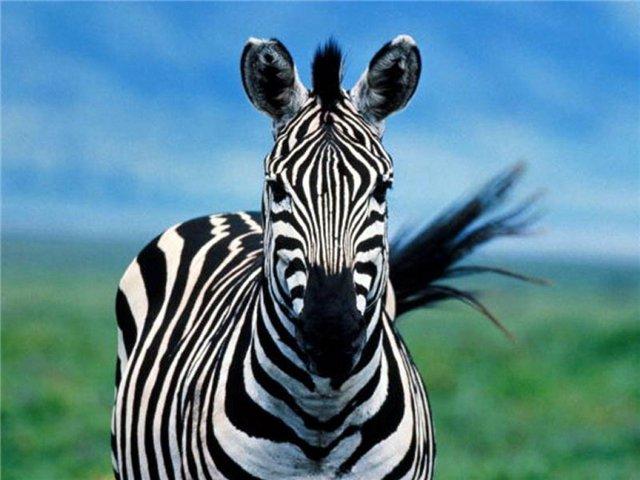 WExplain.ru - Почему зебры полосатые?