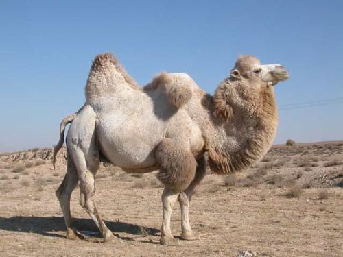 WExplain.ru - Зачем верблюду горб?