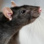 Почему крысы первыми бегут с корабля?
