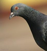 Почему голуби трясут головой, при ходьбе?