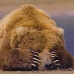 Почему медведи впадают в спячку?