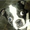 Почему у некоторых собак могут выпадать глаза?