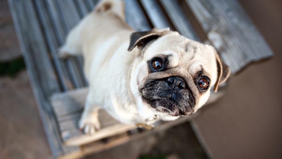 WExplain.ru - Почему у некоторых собак могут выпадать глаза?