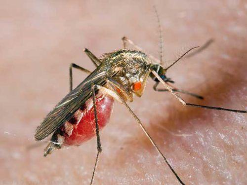 WExplain.ru - Почему комары сосут кровь?