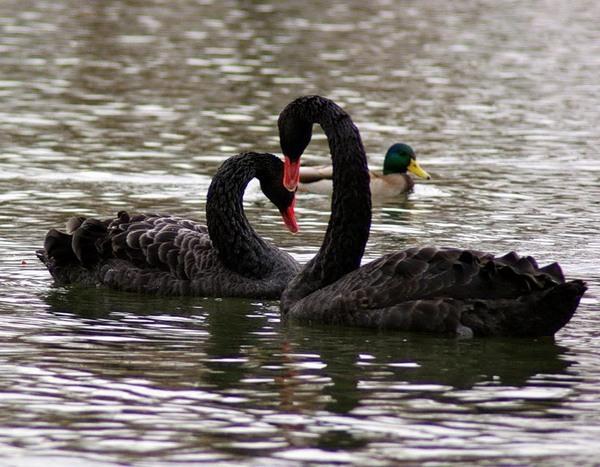 WExplain.ru - Почему водоплавающие птицы не тонут?