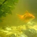 Почему мутнеет вода в аквариуме?