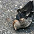 Почему мы редко встречаем на улице мертвых птиц?
