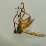 Почему умирают комары?