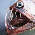 Почему глубоководные рыбы такие страшные?