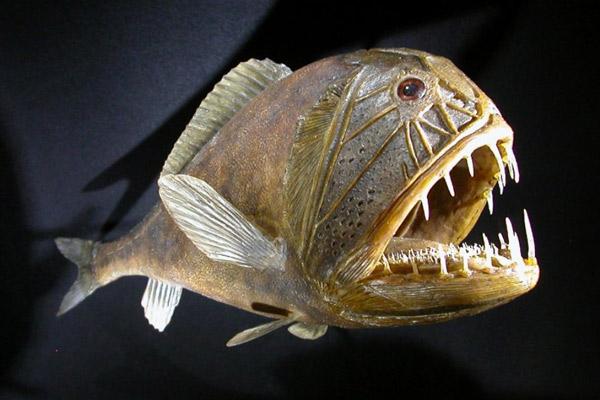 WExplain.ru - Почему глубоководные рыбы такие страшные?