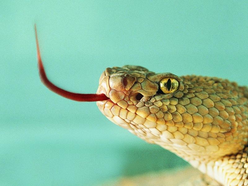 WExplain.ru - Почему змеи показывают язык?