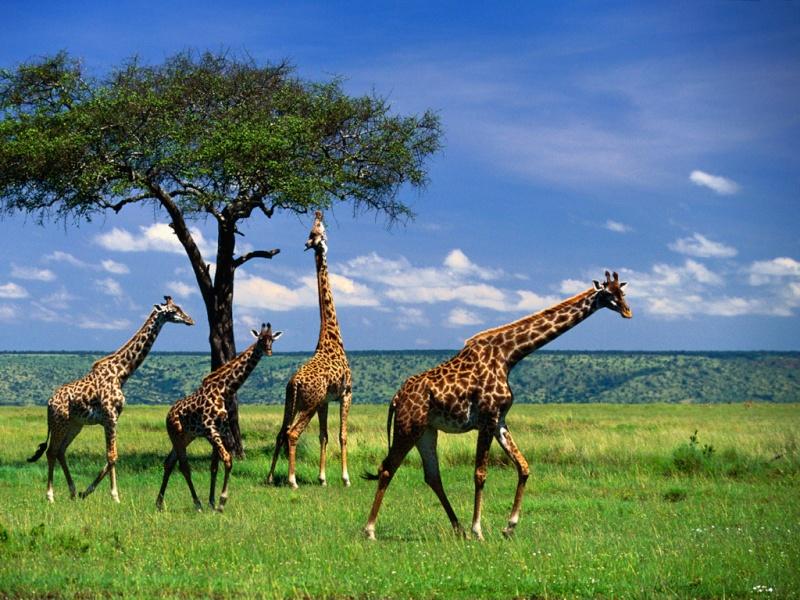 WExplain.ru - Почему у жирафа длинная шея?