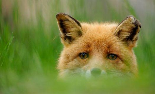 WExplain.ru - Как лучше охотиться на лисицу?