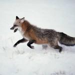 Как лучше охотиться на лисицу?