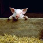Как выращивают свиней?