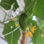 Как вырастить урожай огурцов на балконе?